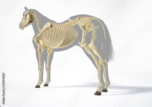 Foto Horse Anatomy. Skeletal system.