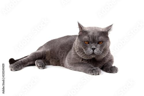 Valokuva Serious British cat