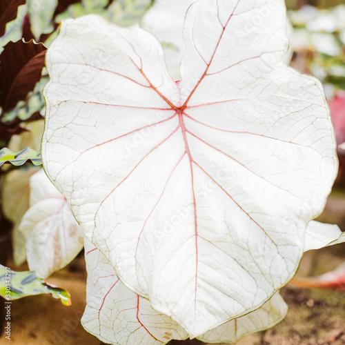 foglia bianca con venature rosa Fototapeta