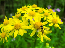 Hoverfly, Pollinator On Yellow Daisies