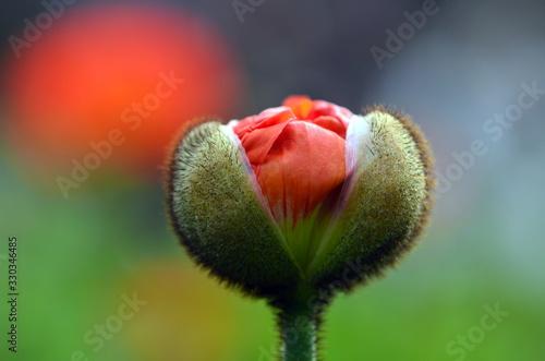Foto Aufgehende Mohnblüte