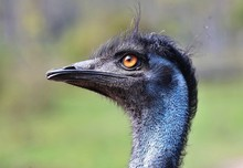 The Emu Is The Second-largest ...
