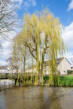 Weeping Willow In Early Spring...
