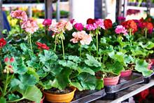 Geranium Flowers In Store