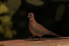 Dove Walking Smart