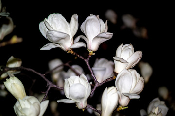 Panel Szklany Kwiaty white magnolia flower blooming beautifully at night.