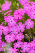 Leinwanddruck Bild - Creeping moss phlox subulata flowering small plant, beautiful flowers carpet of mountain phlox flowers in bloom, ground covering