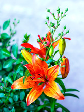 Orange Lilies Blooming On A Be...