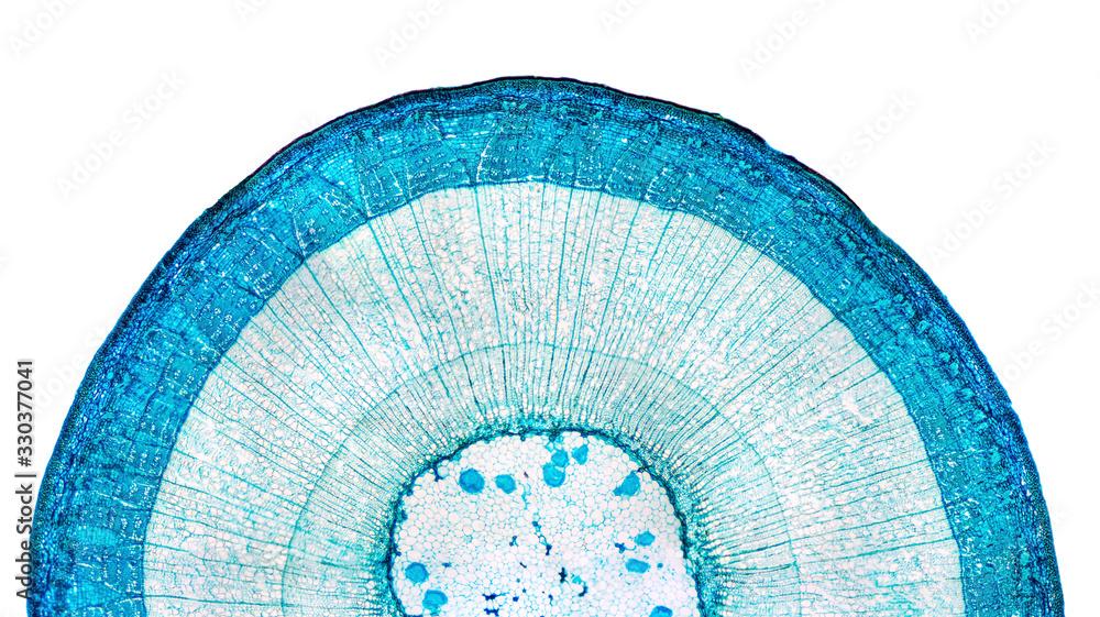 Fototapeta Stem of wood dicotyledon, half cross section under microscope. Light microscope slide with the microsection of a wood stem with vascular bundles, concentric arranged in a ring. Plant anatomy. Photo.