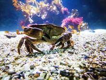 Crab Underwater On The Sea Floor