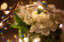 Cherry Blossom In Glass With R...