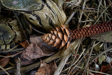 Natural Ground Cover Produced By Trees. Pine Cone, Twigs, Pine Needles, Dry Leafs Laying On The Ground.