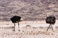 Two Ostridges Walking Around