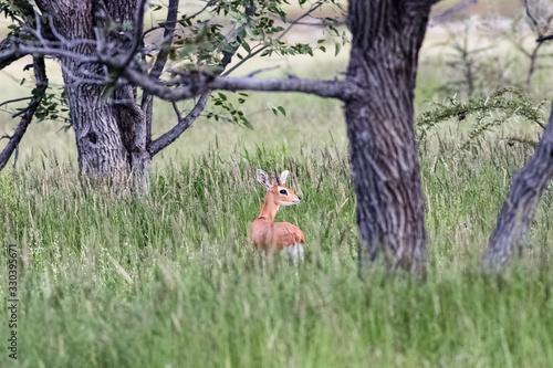 Photo small antilope hiding in the bush