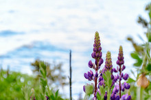 Close-up View Of Purple Lupine...