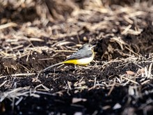 Beautiful Shot Of A Cute Grey Wagtail Bird On The Ground In The Field In Japan