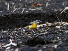 Beautiful Shot Of The Grey Wagtail Bird On The Ground In The Field In Japan