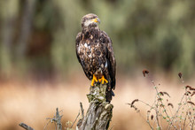 Young Eagle Perched On A Tree