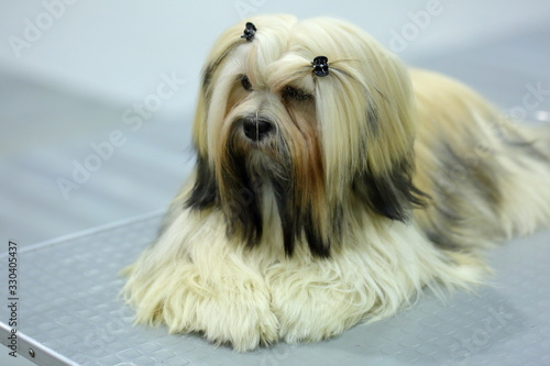 Photo Shih tzu - a good thoroughbred dog, well manicured ready for the exhibition