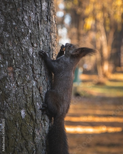 Selective focus shot of a cute tassel-eared squirrel climbing on the tree with a blurred background