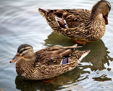 A Pair Of Female Mallard Ducks