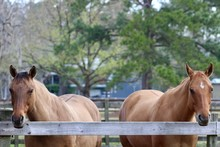 Two Dun Horses Looking Over Fe...