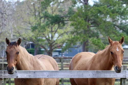 Two Dun Horses Looking over Fence