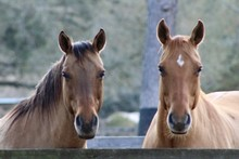 Portrait Of A Two Horses