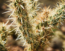 Close Up Of A Cactus, Red Rock Canyon, Nevada
