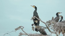 Four Black Cormorant Sitting O...
