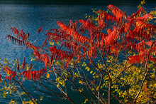 Red Sumac And Yellow Leaves Ag...