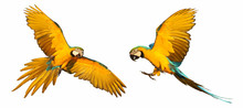 Blue And Gold Macaw Parrot Fly...