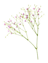 Closeup Of Small Pink Gypsophi...