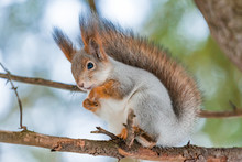 A Grey Squirrel Sits On A Spru...
