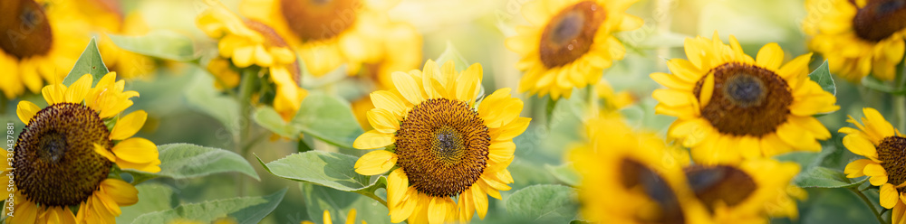 Fototapeta Beautiful nature view of sunflower on blurred background in garden with copy space using as summer background natural flora plants landscape, ecology, fresh cover page concept.
