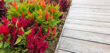 Colorful Flowers Of Celosia Ar...