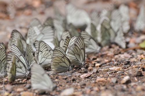 Aporia crataegi, Black Veined White butterfly Canvas Print