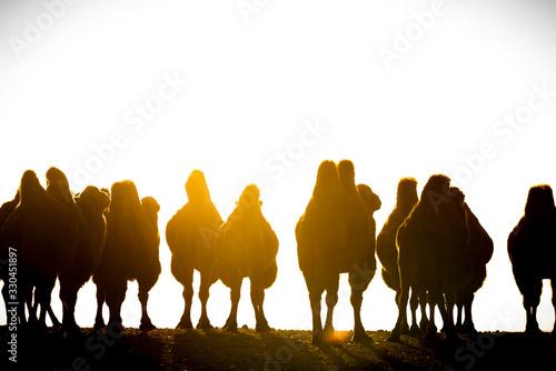 Photo Eine Gruppe von Trampeltieren in der Wüste Gobi, Mongolei