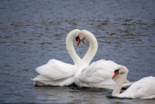 2white Swans In Love Courting ...