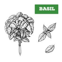 Basil Hand Drawn Vector Illust...