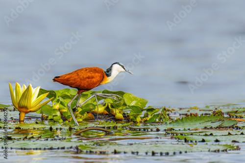 Photo African jacana (Actophilornis africanus)  adult walking on lily pads on the Nile, Murchison Falls National Park, Uganda