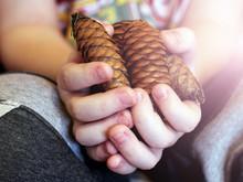 Pine Cones In Children 's Hands