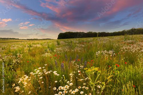 Fototapeta Wild flower meadow sunset landscape in England