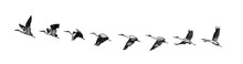 Stork Flying / Antique Illustr...