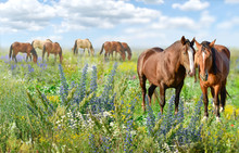 Panorama View Of  Horses In The Field Flowers On Summer Day