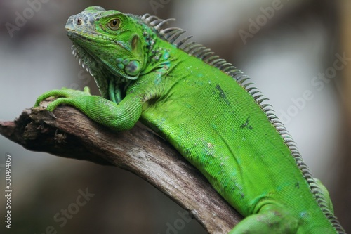 The green iguana (Iguana iguana), also known as the American iguana, is a large, arboreal, mostly herbivorous species of lizard of the genus Iguana Canvas Print
