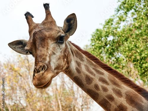 A giraffe looking and listening. Giraffe's head on a long neck. Canvas Print
