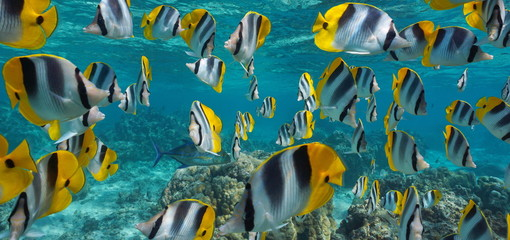 Panel Szklany Podświetlane Morze Tropical fish school underwater, Pacific double-saddle butterflyfish, Pacific ocean, French Polynesia