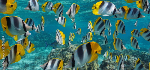 Tropical fish school underwater, Pacific double-saddle butterflyfish, Pacific ocean, French Polynesia #330500299