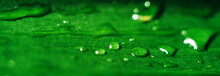 Drops Of Dew On A Green Leaf C...